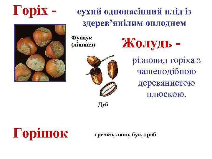 Горіх - сухий однонасінний плід із здерев'янілим оплоднем Фундук (ліщина) Жолудь різновид горіха з