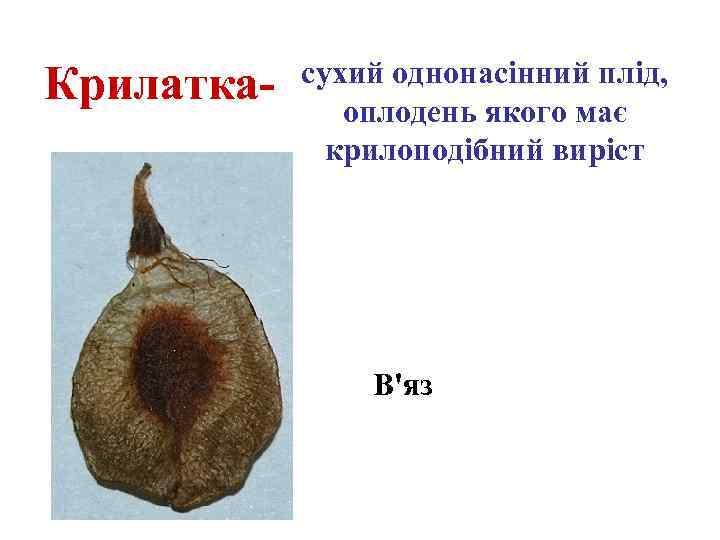 Крилатка- сухий однонасінний плід, оплодень якого має крилоподібний виріст В'яз