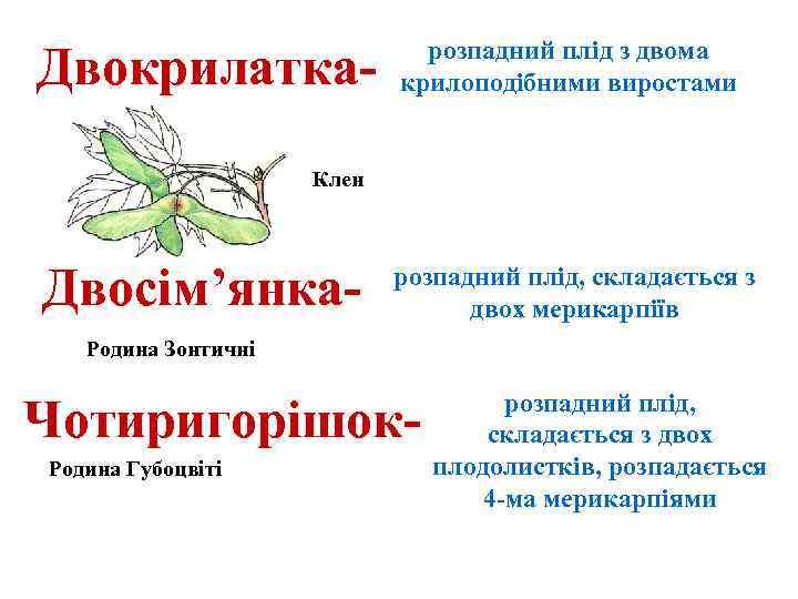 Двокрилатка- розпадний плід з двома крилоподібними виростами Клен Двосім'янка- розпадний плід, складається з двох