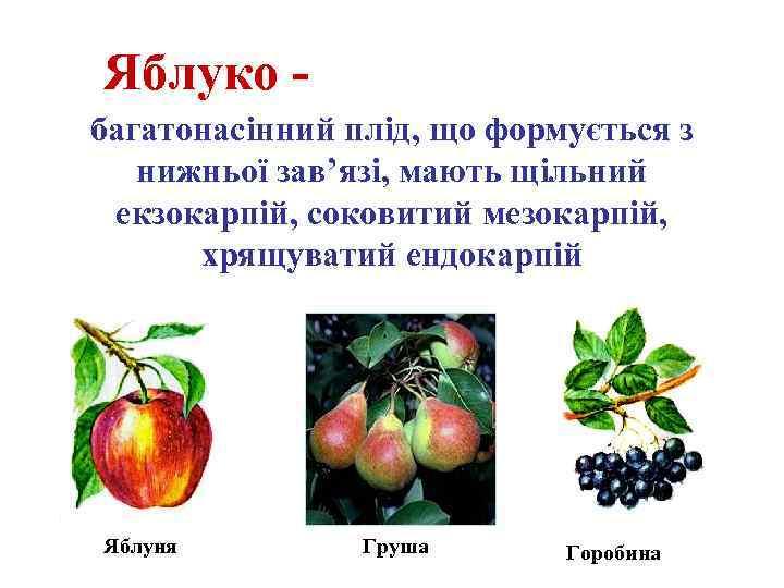 Яблуко багатонасінний плід, що формується з нижньої зав'язі, мають щільний екзокарпій, соковитий мезокарпій, хрящуватий