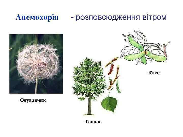 Анемохорія - розповсюдження вітром Клен Одуванчик Тополь
