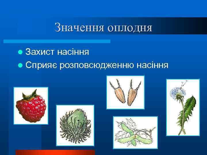 Значення оплодня l Захист насіння l Сприяє розповсюдженню насіння