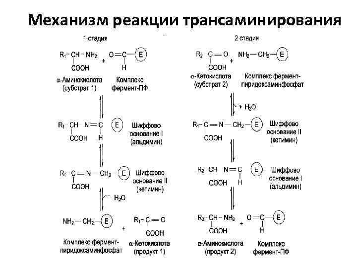 Механизм реакции трансаминирования
