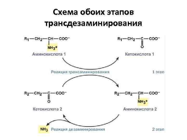 Схема обоих этапов трансдезаминирования