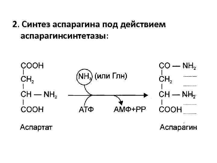 2. Синтез аспарагина под действием аспарагинсинтетазы: аспарагинсинтетазы