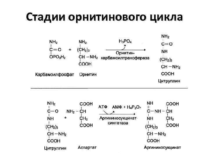 Стадии орнитинового цикла