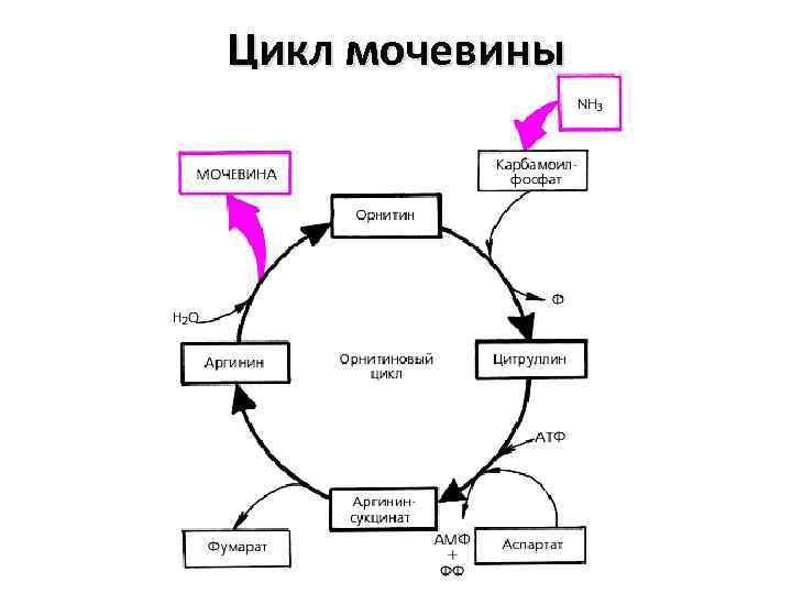 Цикл мочевины
