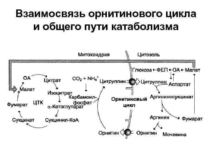 Взаимосвязь орнитинового цикла и общего пути катаболизма