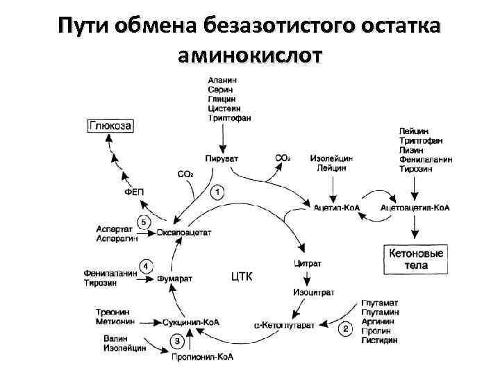 Пути обмена безазотистого остатка аминокислот