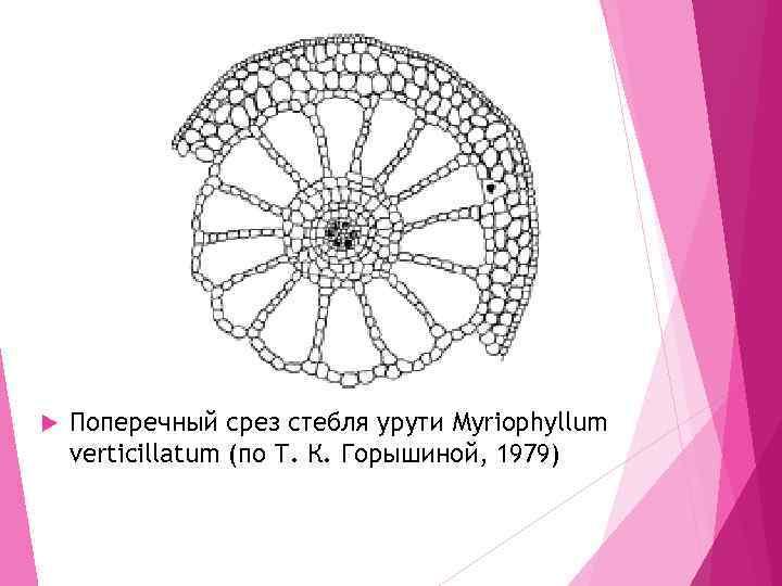 Поперечный срез стебля урути Myriophyllum verticillatum (по Т. К. Горышиной, 1979)