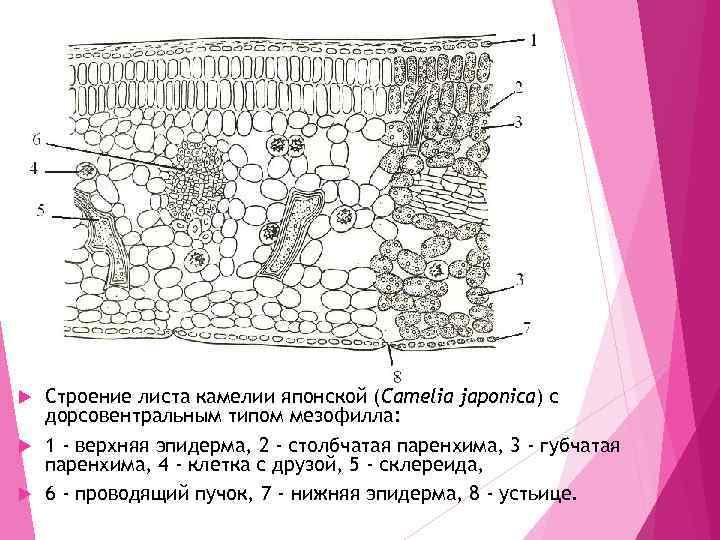 Строение листа камелии японской (Camelia japonica) с дорсовентральным типом мезофилла: 1 - верхняя эпидерма,