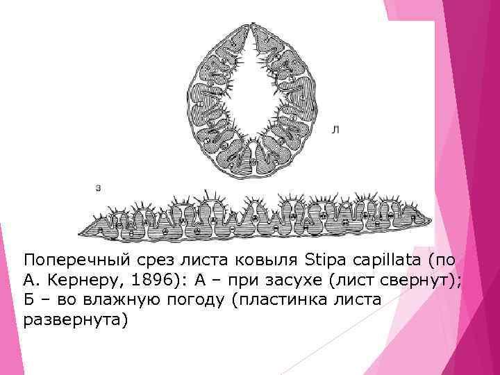 Поперечный срез листа ковыля Stipa capillata (по A. Кернеру, 1896): A – при засухе