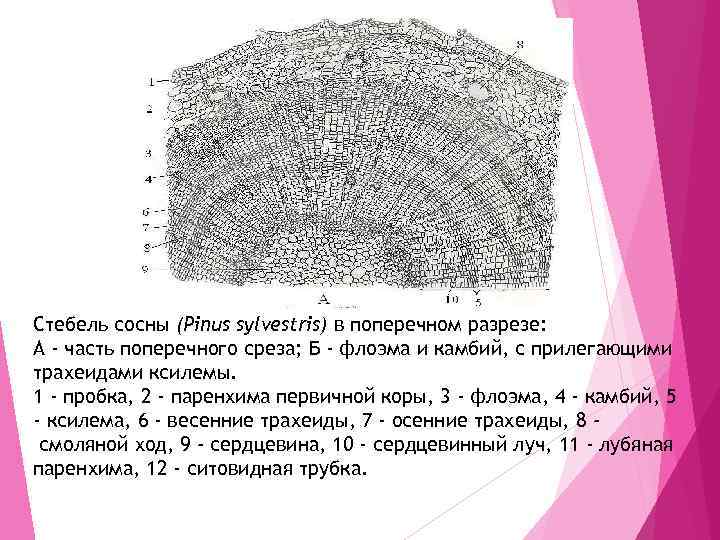 Стебель сосны (Pinus sylvestris) в поперечном разрезе: А - часть поперечного среза; Б -