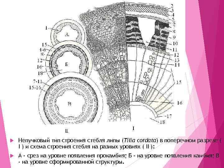 Непучковый тип строения стебля липы (Tilia cordata) в поперечном разрезе ( I )