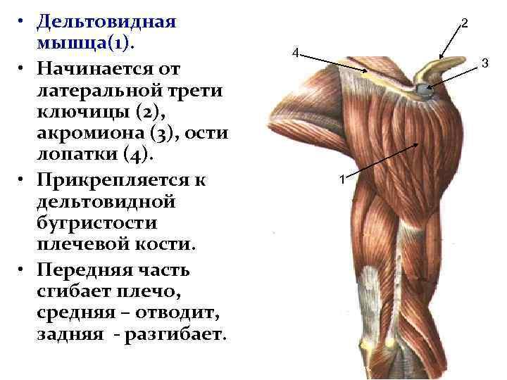 увы, попав дельтовидная мышца картинки детям иногда трудно