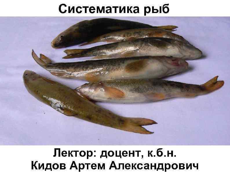 Систематика рыб Лектор: доцент, к. б. н. Кидов Артем Александрович