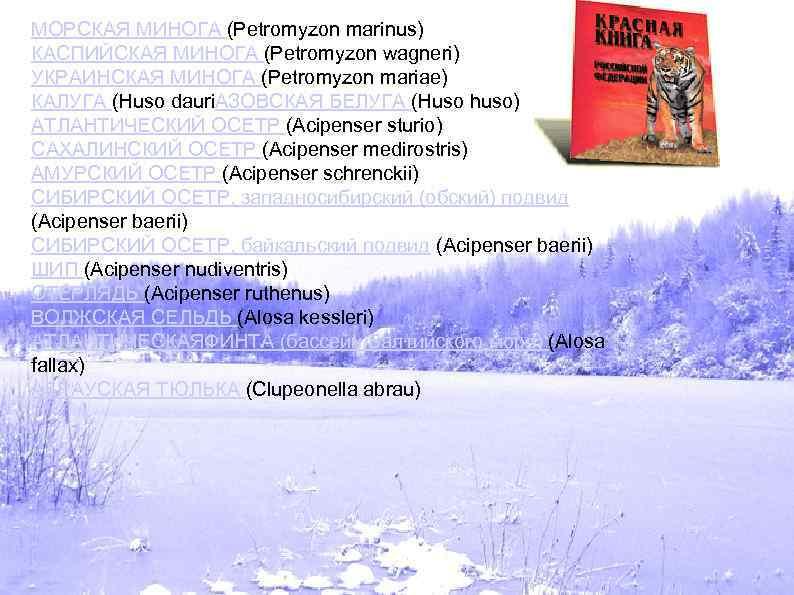 МОРСКАЯ МИНОГА (Petromyzon marinus) КАСПИЙСКАЯ МИНОГА (Petromyzon wagneri) УКРАИНСКАЯ МИНОГА (Petromyzon mariae) КАЛУГА (Huso