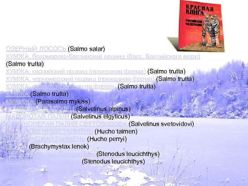 ОЗЕРНЫЙ ЛОСОСЬ (Salmo salar) КУМЖА, беломорско-балтийский подвид (басс. Балтийского моря) (Salmo trutta) КУМЖА, каспийский