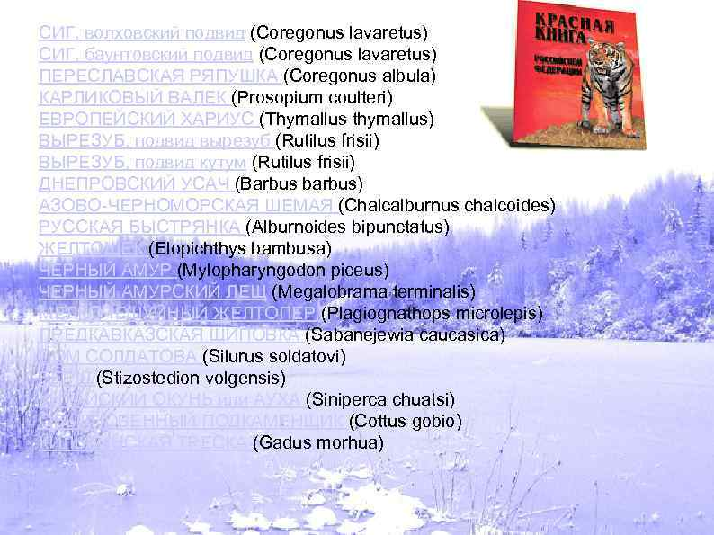 СИГ, волховский подвид (Coregonus lavaretus) СИГ, баунтовский подвид (Coregonus lavaretus) ПЕРЕСЛАВСКАЯ РЯПУШКА (Coregonus albula)
