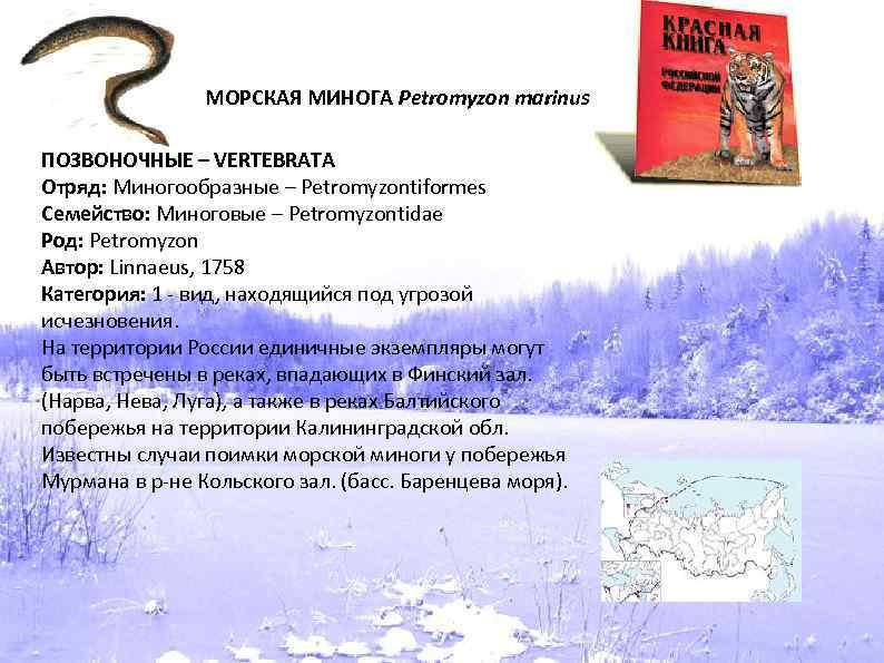 МОРСКАЯ МИНОГА Petromyzon marinus ПОЗВОНОЧНЫЕ – VERTEBRATA Отряд: Миногообразные – Petromyzontiformes Семейство: Миноговые –