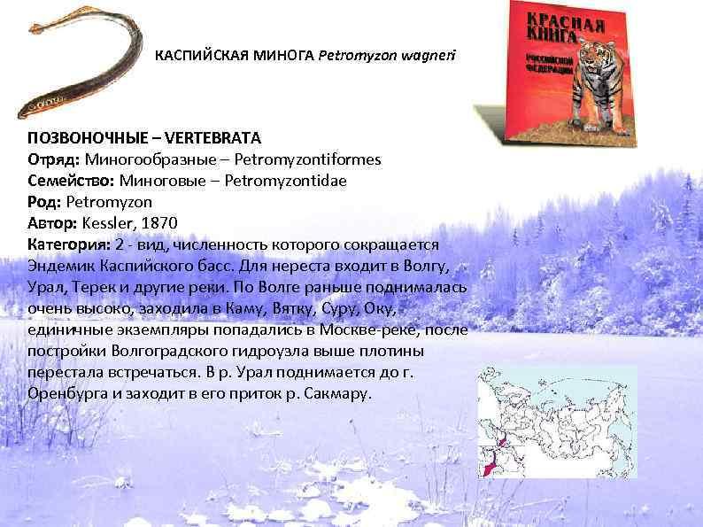 КАСПИЙСКАЯ МИНОГА Petromyzon wagneri ПОЗВОНОЧНЫЕ – VERTEBRATA Отряд: Миногообразные – Petromyzontiformes Семейство: Миноговые –