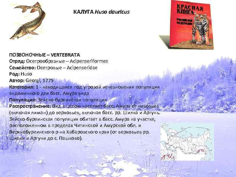 КАЛУГА Huso dauricus ПОЗВОНОЧНЫЕ – VERTEBRATA Отряд: Осетрообразные – Acipenseriformes Семейство: Осетровые – Acipenseridae