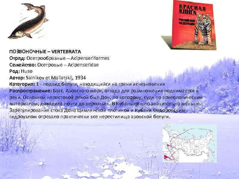 ПОЗВОНОЧНЫЕ – VERTEBRATA Отряд: Осетрообразные – Acipenseriformes Семейство: Осетровые – Acipenseridae Род: Huso Автор: