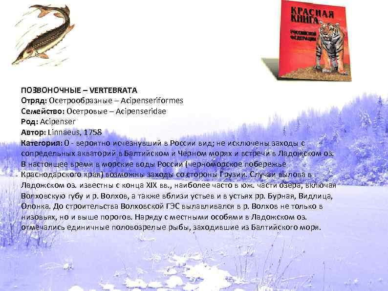 ПОЗВОНОЧНЫЕ – VERTEBRATA Отряд: Осетрообразные – Acipenseriformes Семейство: Осетровые – Acipenseridae Род: Acipenser Автор: