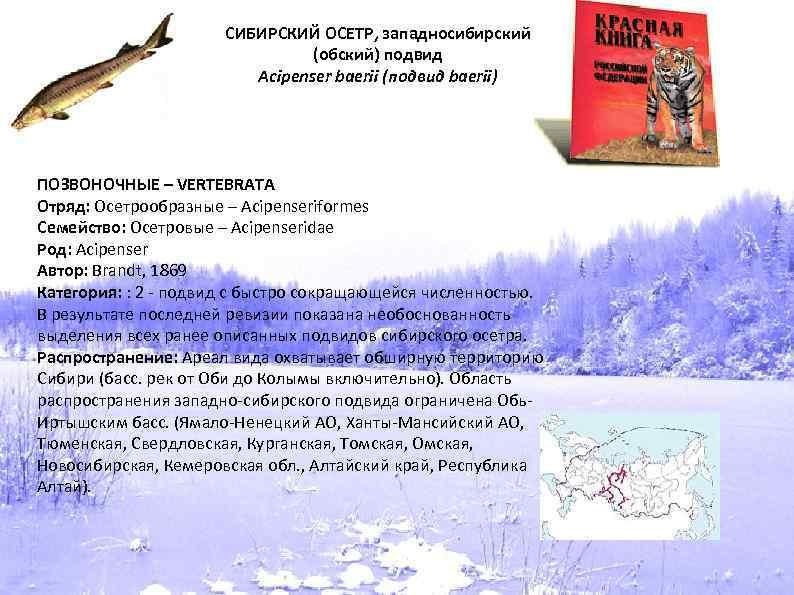 СИБИРСКИЙ ОСЕТР, западносибирский (обский) подвид Acipenser baerii (подвид baerii) ПОЗВОНОЧНЫЕ – VERTEBRATA Отряд: Осетрообразные