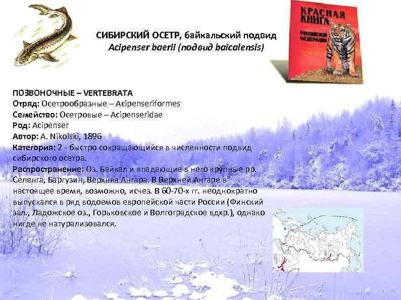 СИБИРСКИЙ ОСЕТР, байкальский подвид Acipenser baerii (подвид baicalensis) ПОЗВОНОЧНЫЕ – VERTEBRATA Отряд: Осетрообразные –
