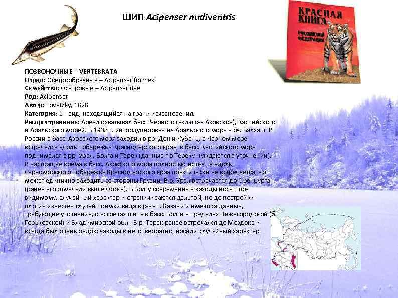 ШИП Acipenser nudiventris ПОЗВОНОЧНЫЕ – VERTEBRATA Отряд: Осетрообразные – Acipenseriformes Семейство: Осетровые – Acipenseridae