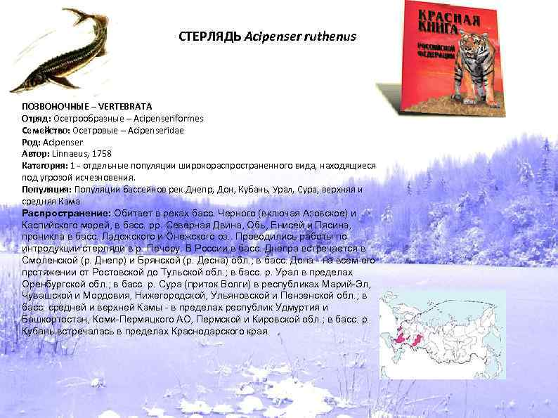 СТЕРЛЯДЬ Acipenser ruthenus ПОЗВОНОЧНЫЕ – VERTEBRATA Отряд: Осетрообразные – Acipenseriformes Семейство: Осетровые – Acipenseridae