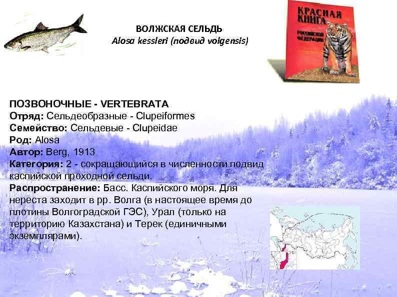 ВОЛЖСКАЯ СЕЛЬДЬ Alosa kessleri (подвид volgensis) ПОЗВОНОЧНЫЕ - VERTEBRATA Отряд: Сельдеобразные - Clupeiformes Семейство: