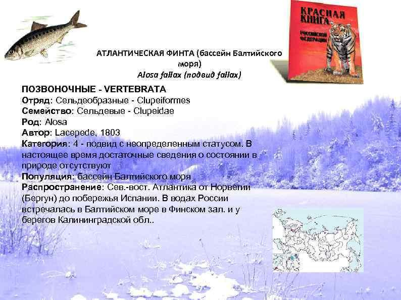 АТЛАНТИЧЕСКАЯ ФИНТА (бассейн Балтийского моря) Alosa fallax (подвид fallax) ПОЗВОНОЧНЫЕ - VERTEBRATA Отряд: Сельдеобразные