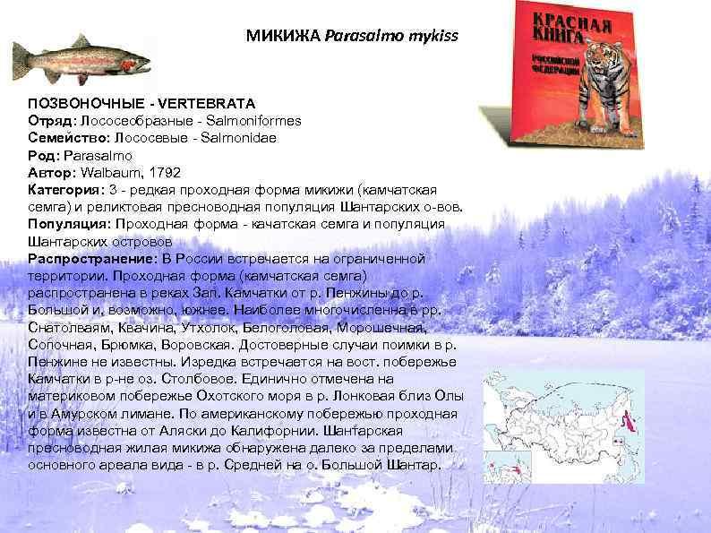 МИКИЖА Parasalmo mykiss ПОЗВОНОЧНЫЕ - VERTEBRATA Отряд: Лососеобразные - Salmoniformes Семейство: Лососевые - Salmonidae