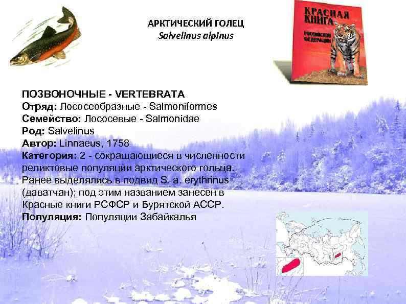 АРКТИЧЕСКИЙ ГОЛЕЦ Salvelinus alpinus ПОЗВОНОЧНЫЕ - VERTEBRATA Отряд: Лососеобразные - Salmoniformes Семейство: Лососевые -