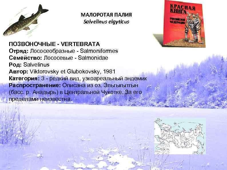 МАЛОРОТАЯ ПАЛИЯ Salvelinus elgyticus ПОЗВОНОЧНЫЕ - VERTEBRATA Отряд: Лососеобразные - Salmoniformes Семейство: Лососевые -