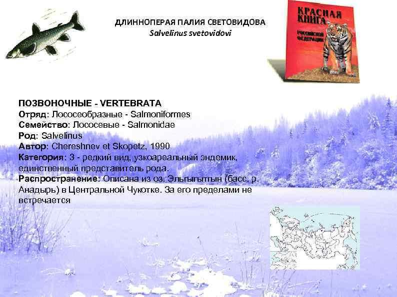 ДЛИННОПЕРАЯ ПАЛИЯ СВЕТОВИДОВА Salvelinus svetovidovi ПОЗВОНОЧНЫЕ - VERTEBRATA Отряд: Лососеобразные - Salmoniformes Семейство: Лососевые