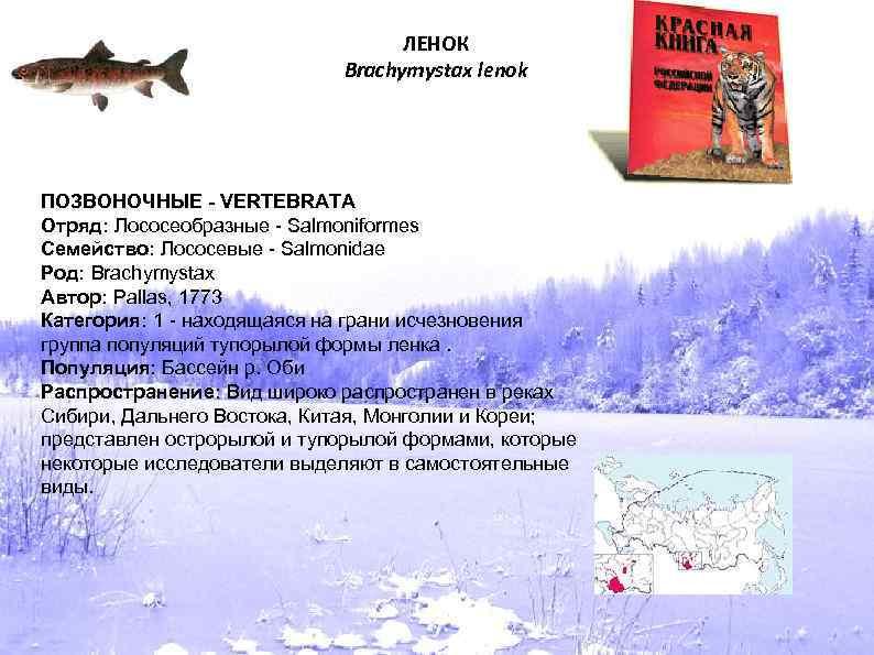 ЛЕНОК Brachymystax lenok ПОЗВОНОЧНЫЕ - VERTEBRATA Отряд: Лососеобразные - Salmoniformes Семейство: Лососевые - Salmonidae