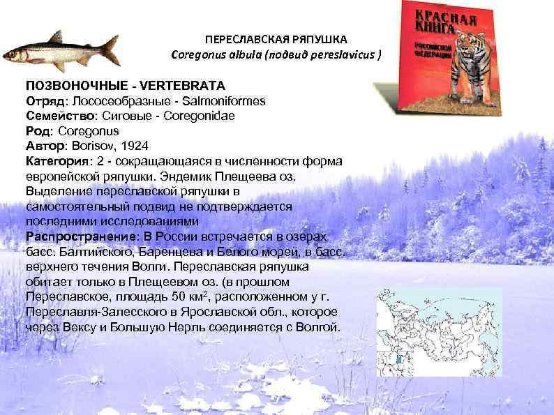 ПЕРЕСЛАВСКАЯ РЯПУШКА Coregonus albula (подвид pereslavicus ) ПОЗВОНОЧНЫЕ - VERTEBRATA Отряд: Лососеобразные - Salmoniformes