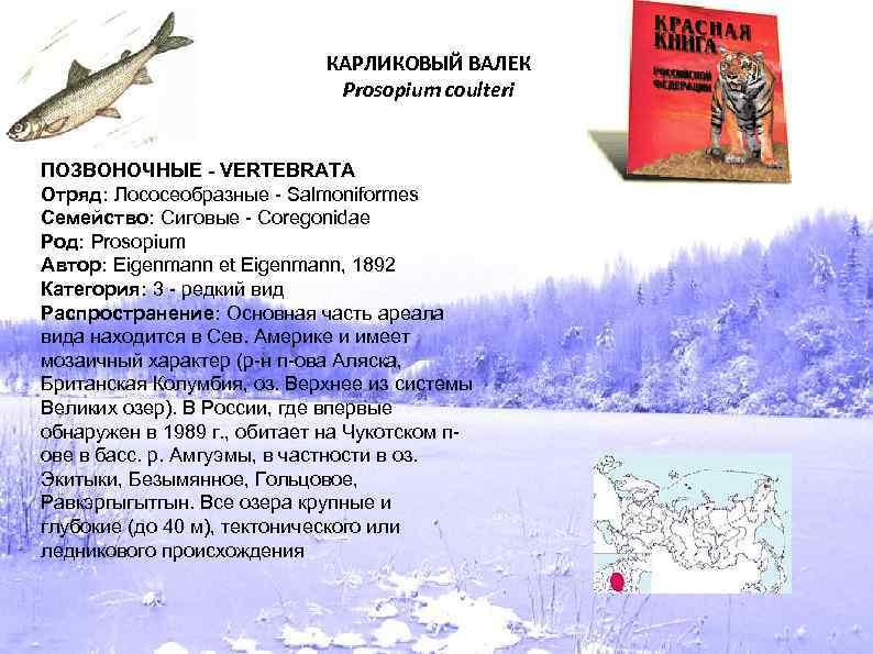 КАРЛИКОВЫЙ ВАЛЕК Prosopium coulteri ПОЗВОНОЧНЫЕ - VERTEBRATA Отряд: Лососеобразные - Salmoniformes Семейство: Сиговые -