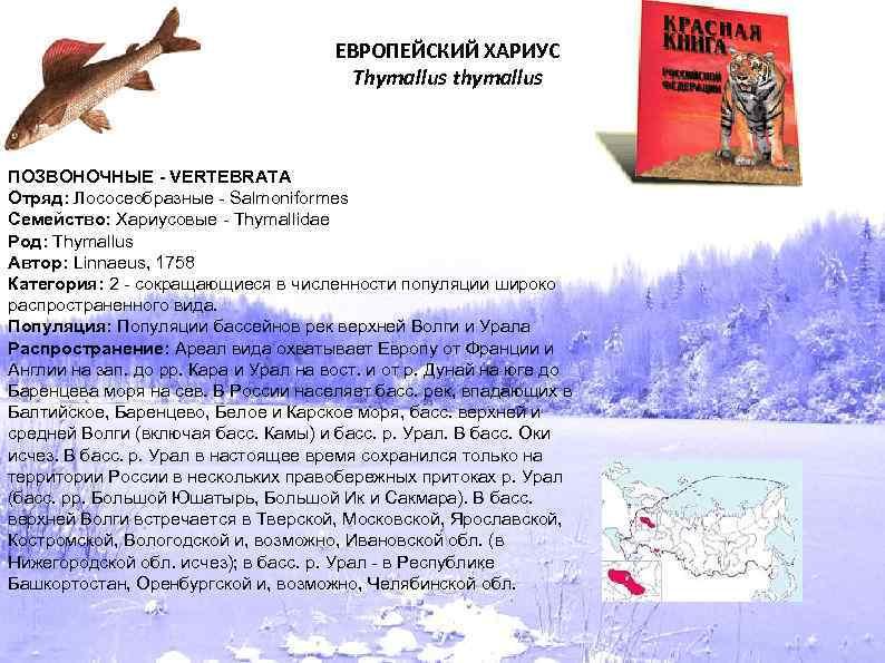 ЕВРОПЕЙСКИЙ ХАРИУС Thymallus thymallus ПОЗВОНОЧНЫЕ - VERTEBRATA Отряд: Лососеобразные - Salmoniformes Семейство: Хариусовые -