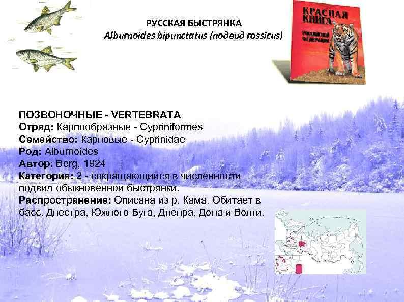 РУССКАЯ БЫСТРЯНКА Alburnoides bipunctatus (подвид rossicus) ПОЗВОНОЧНЫЕ - VERTEBRATA Отряд: Карпообразные - Cypriniformes Семейство: