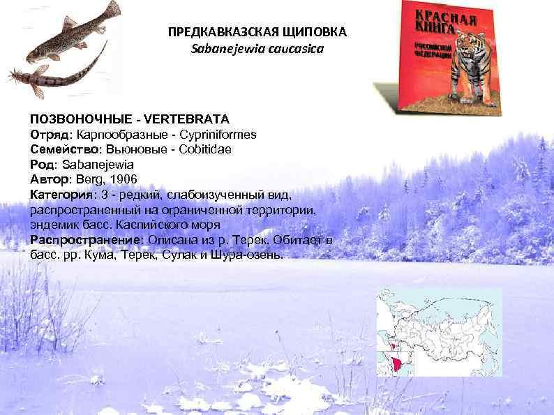 ПРЕДКАВКАЗСКАЯ ЩИПОВКА Sabanejewia caucasica ПОЗВОНОЧНЫЕ - VERTEBRATA Отряд: Карпообразные - Cypriniformes Семейство: Вьюновые -