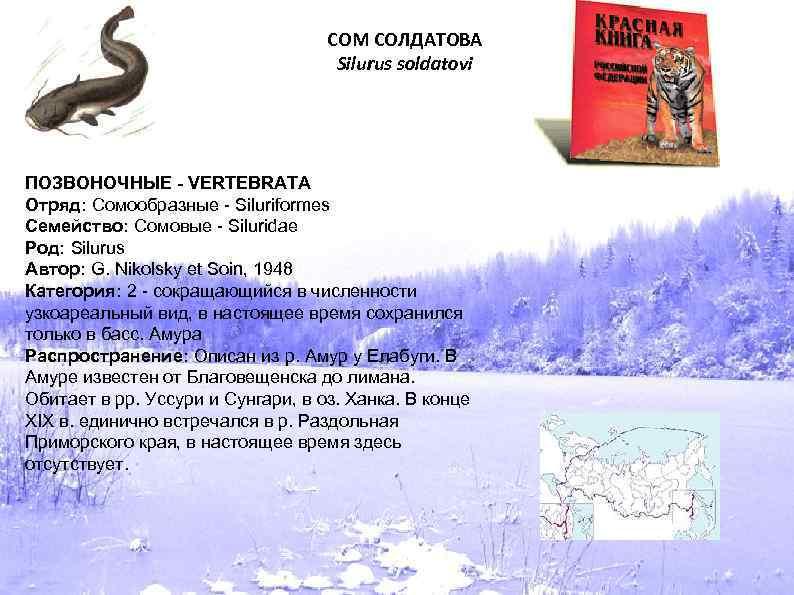 СОМ СОЛДАТОВА Silurus soldatovi ПОЗВОНОЧНЫЕ - VERTEBRATA Отряд: Сомообразные - Siluriformes Семейство: Сомовые -