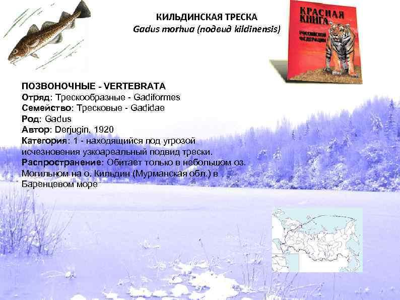 КИЛЬДИНСКАЯ ТРЕСКА Gadus morhua (подвид kildinensis) ПОЗВОНОЧНЫЕ - VERTEBRATA Отряд: Трескообразные - Gadiformes Семейство: