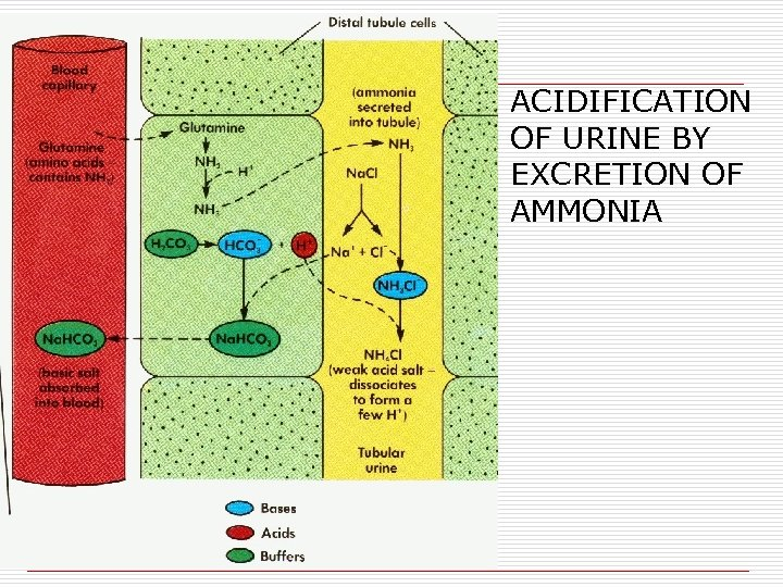 ACIDIFICATION OF URINE BY EXCRETION OF AMMONIA