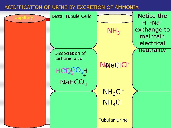 ACIDIFICATION OF URINE BY EXCRETION OF AMMONIA Capillary Distal Tubule Cells NH 3 Dissociation