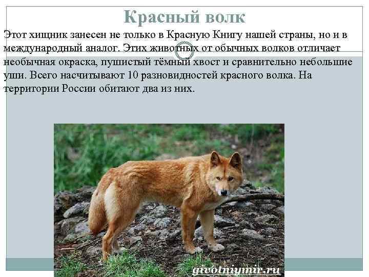 Красный волк Этот хищник занесен не только в Красную Книгу нашей страны, но и