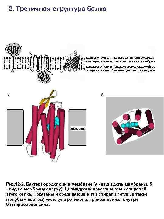 2. Третичная структура белка Рис. 12 -2. Бактериородопсин в мембране (а - вид вдоль